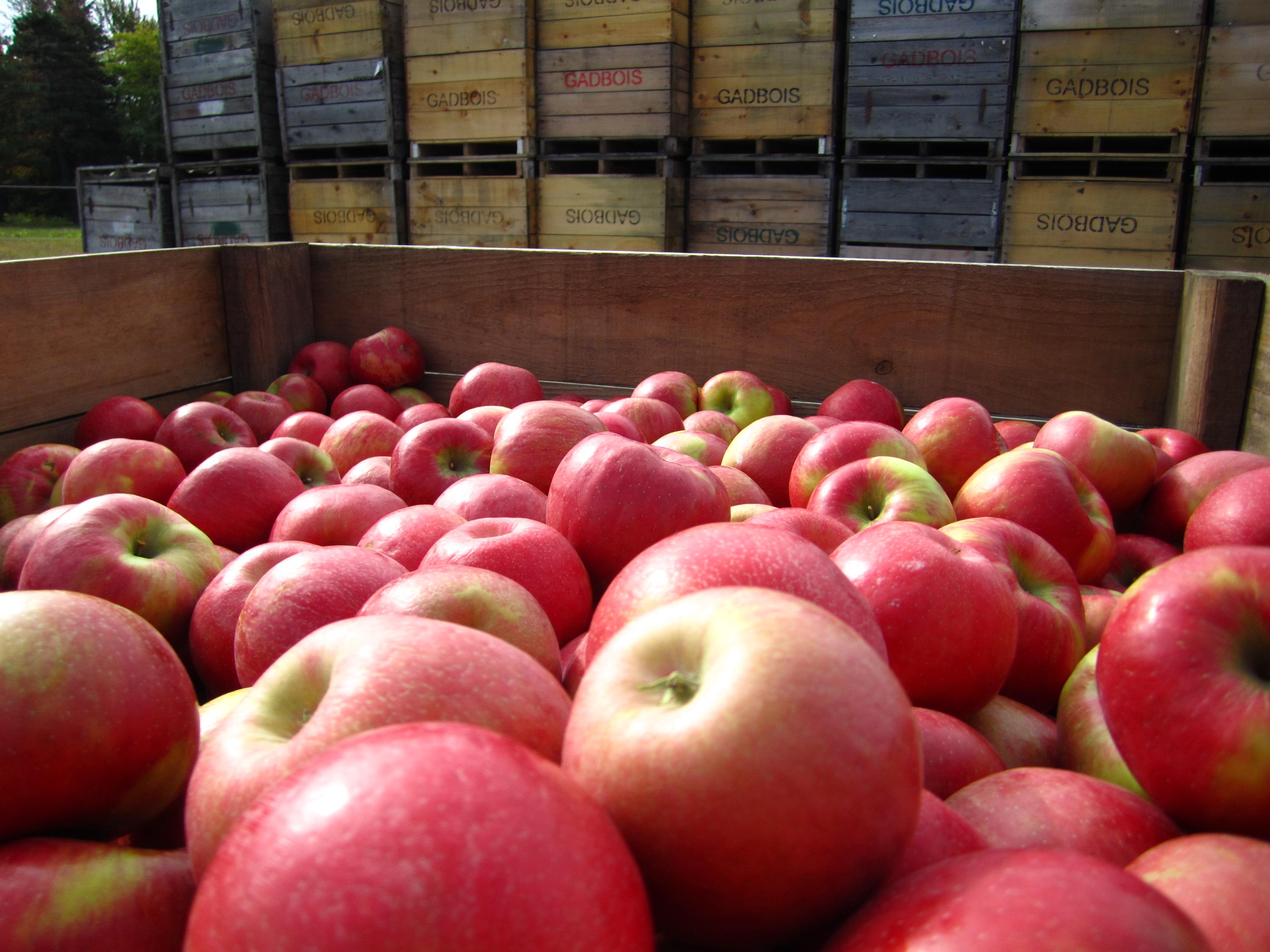 Verger-autocueillette-pommes-qualite-Rougemont-Monteregie