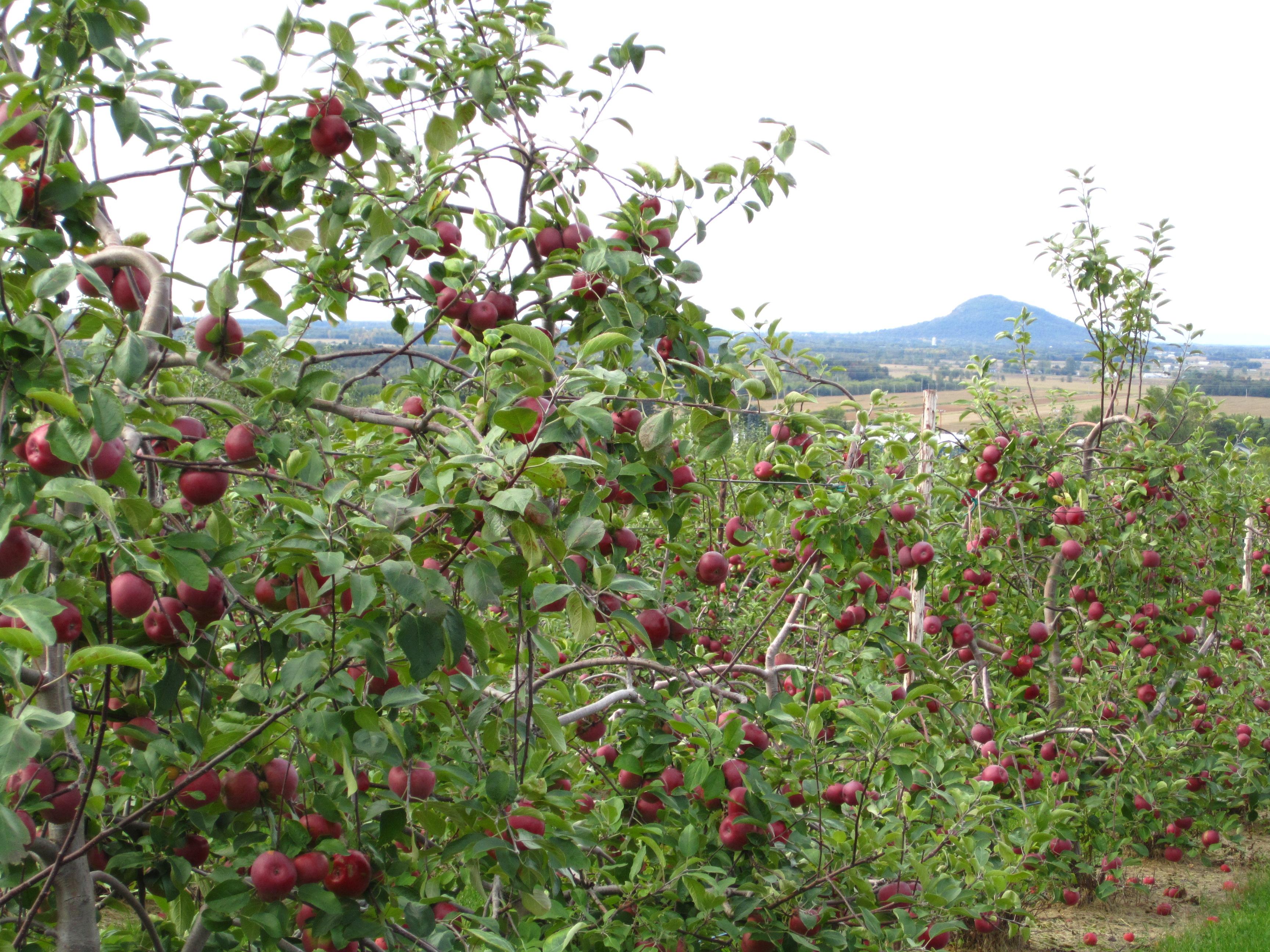 Verger-autocueillette-pommes-Rougemont-Monteregie