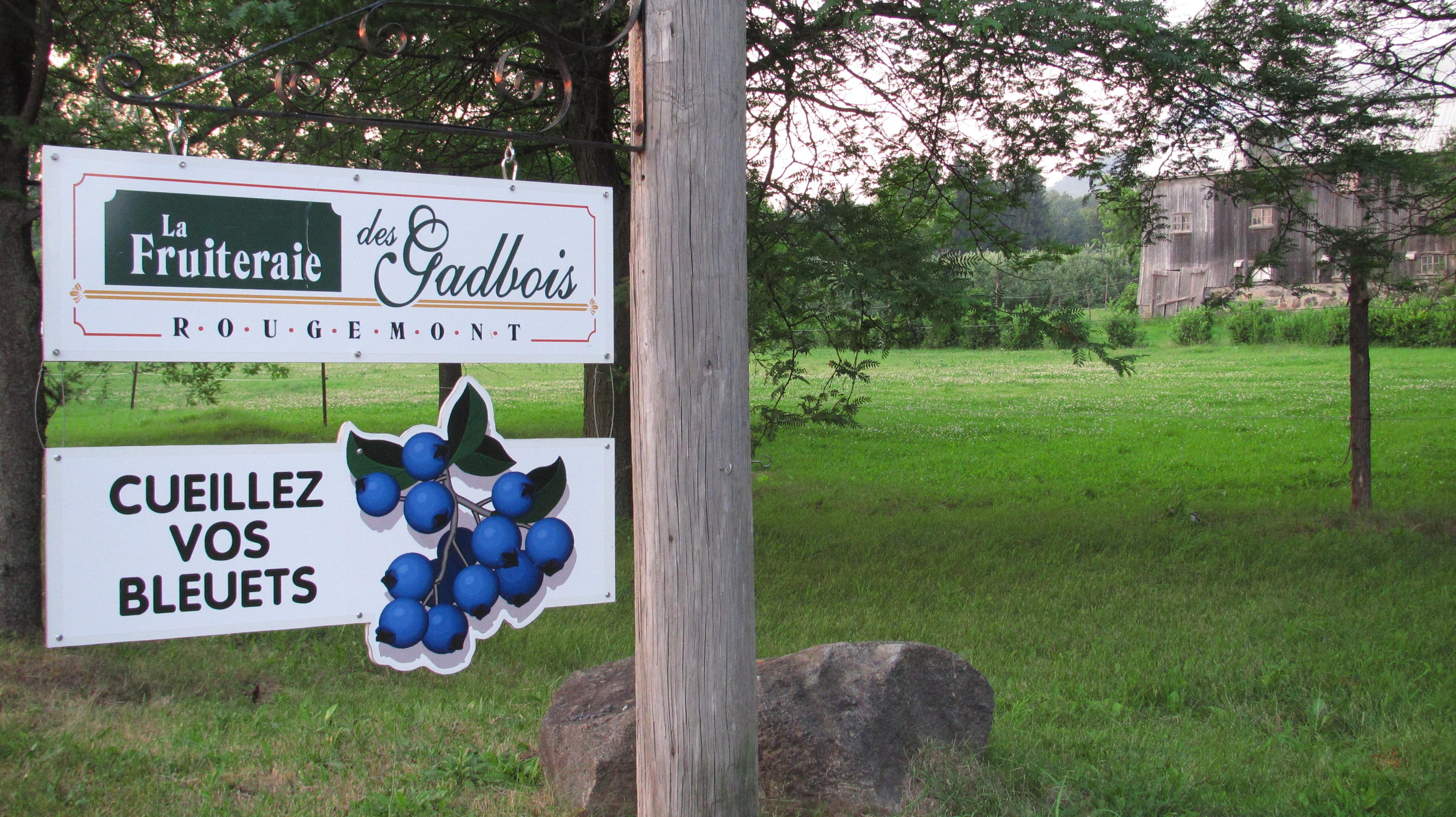 Rougemont Montérégie Gros plants de bleuets sucrés autocueillette cueillette