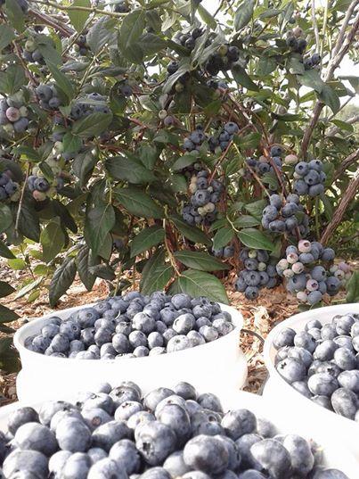 Bleuetière Rougemont Montérégie Gros bleuets sucrés en abondance autocueillette cueillette